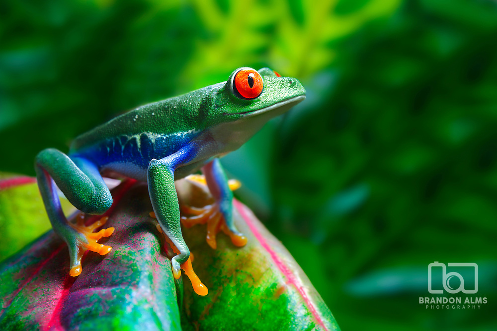 A colorful Red-Eyed Tree Frog (Agalychnis callidryas) in its tropical setting.