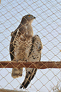 Israel, Aravah, The Yotvata Hai-Bar Nature Reserve breeding and reacclimation centre. A wounded Northern Goshawk (Accipiter gentilis), being cared for at the rehabilitation centre