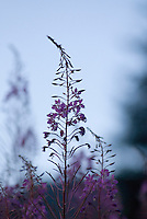 Wild fireweed grows abundantly in Whistler, BC Canada.