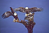 Bald Eagles, (Haliaeetus leucocephalus) landing on an old tree near Homer, Alaska.