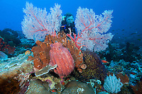 A diver poses amongst healthy sponges and sea fans<br /> <br /> Shot in Indonesia