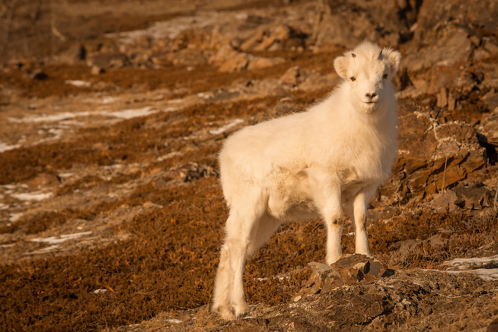 Dall Sheep lamb during Kluane sunset