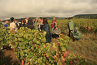 photos of the grape wine harvest in Burgundy, France, at the property of Chateau Comte Senard, Aloxe Corton, near Beaune, in the Cote d'Or