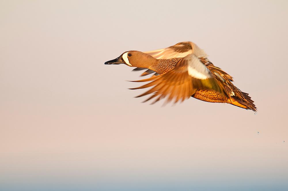 Blue-winged Teal, Anas discors, male, Logan County, North Dakota
