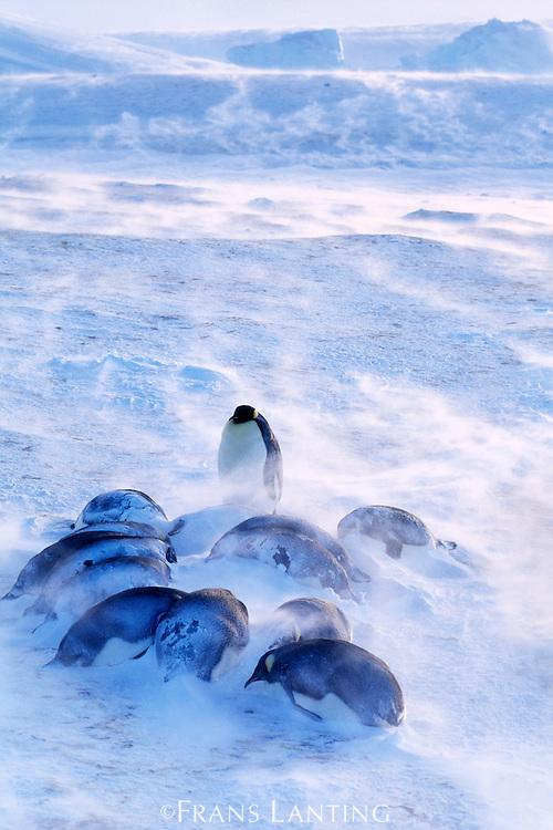 Emperor penguins huddled in blizzard, Aptenodytes forsteri, Antarctica