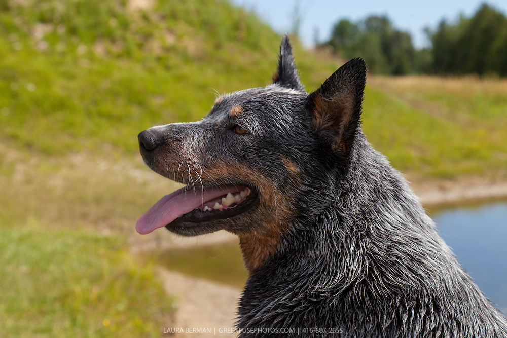 Australian Cattle Dog at play.