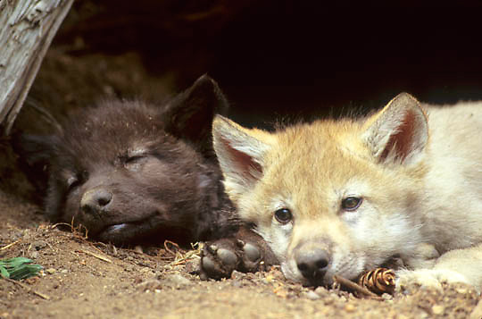 Gray Wolf, (Canis lupus) Pups resting at entrance of wolf den. Captive Animal.