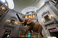 The elephant in the rotunda of the Museum of Natural History,Washington DC  photo by Dennis Brack