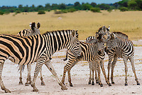 Zebras, Nxai Pan National Park, Botswana.