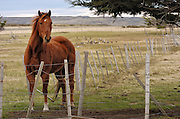 Domesticated horse behind a fense on a wind blown ranch Estancia Rio Verde.