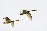 A pair of Tundra Swans fly from a feeding area.