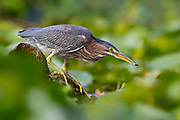 A green heron (Butorides virescens) pulls a wasp from a water lily in the wetlands of the Washington Park Arboretum in Seattle, Washington.
