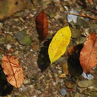 Hojas flotando en un rio de la selva de Birongo, Edo. Miranda. Venezuela