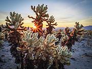 Sunrise at the Cholla Cactus Garden in Joshua Tree National Park