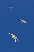 Three red-tailed tropicbirds flying in close formation, with a white-tailed tropicbird in the background. Shot at the Kilauea Point National Wildlife Refuge, on the island of Kauai, Hawaii.