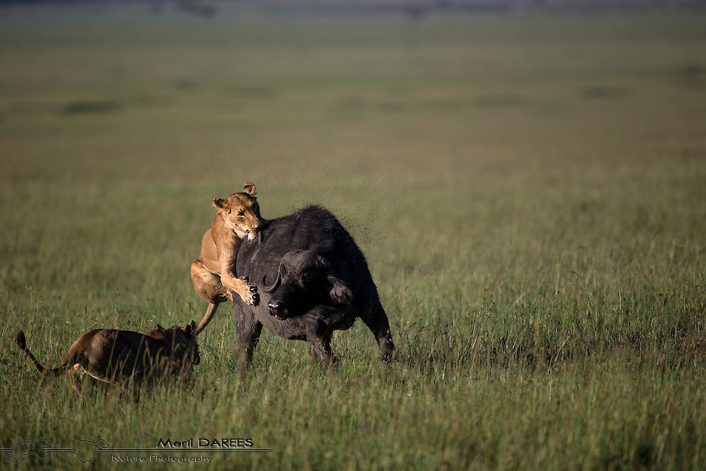 Lionesses attacking an African Buffalo. Masai Mara, Kenya.