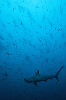 Schooling Scalloped Hammerhead Sharks<br /> <br /> <br /> Shot at Cocos Island, Costa Rica