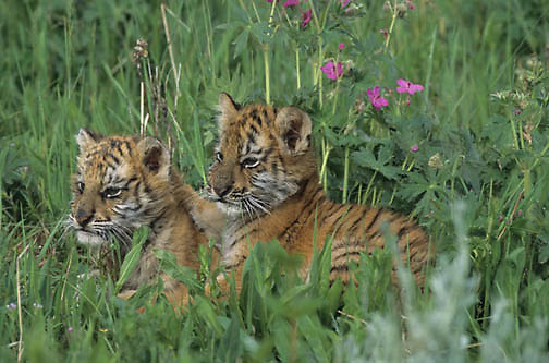 Bengal Tiger, (Panthera tigris) Pair of cubs. Captive Animal.