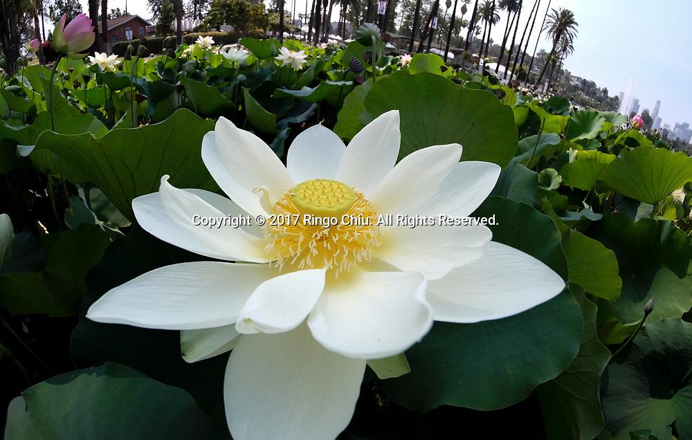 7月12日,在美国洛杉矶市中心附近的回声公园,一朵盛开的荷花。一年一度的莲花节将于七月十五至十六日举行,届时不但可观赏盛开的荷花,还将有各式亚洲美食、民俗表演和手工艺品展出。新华社发 (赵汉荣摄)<br /> A lotus flower blossoms on Wednesday, July 12, 2017 at Echo Park near downtown Los Angeles, the United States. The annual Lotus Festival will hold on July 15-16. The Festival was originally named &quot;The Day of the Lotus&quot;, and the purpose was to promote an awareness and understanding of the contributions by the Asian and Pacific Islander people to American culture and the local and surrounding communities. (Xinhua/Zhao Hanrong)(Photo by Ringo Chiu)<br /> <br /> Usage Notes: This content is intended for editorial use only. For other uses, additional clearances may be required.