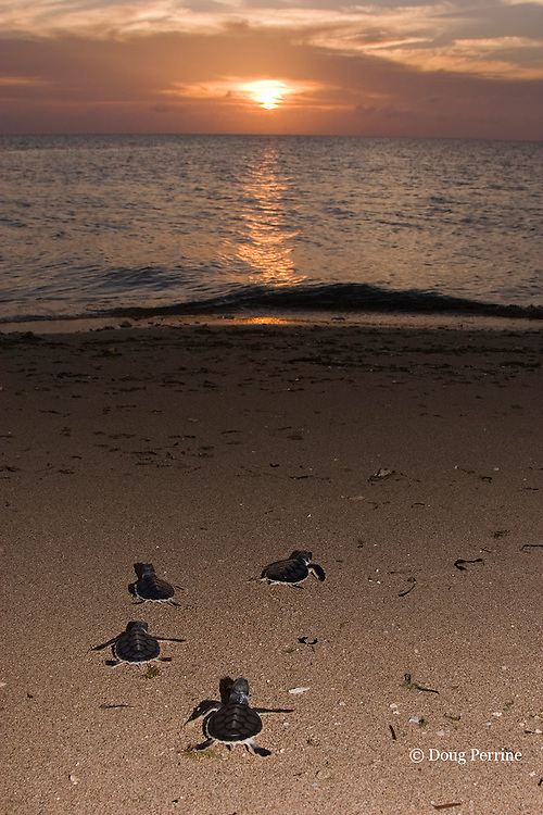 Australian flatback sea turtle hatchlings, Natator depressus, crawl down nesting beach to ocean, Torres Strait, Queensland, Australia