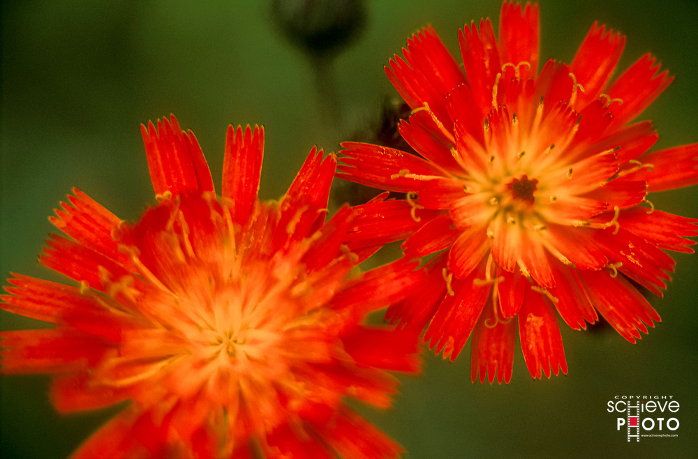 Orange Hawkweed growing in northern Wisconsin.