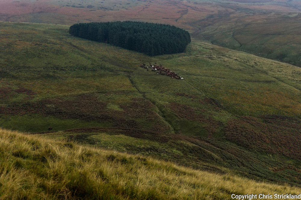 Plenderleith, Jedburgh, Scottish Borders, UK. 17th October 2015. Cattle gather near a woodland of coniferous trees on moorland in the Cheviot Hills.