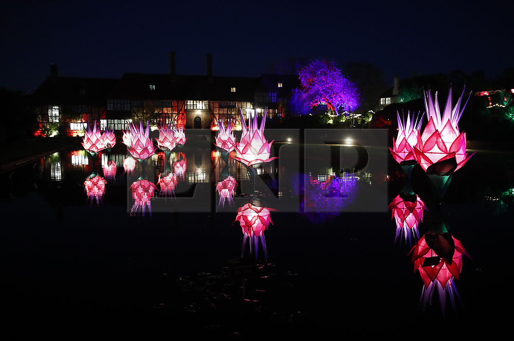 © Licensed to London News Pictures. 30/11/2018. London, UK. Illuminated lotus plants at RHS Wisley Gardens. Trees and plants are illuminated at Royal Horticulture Society Wisley Gardens for the Christmas Glow seasonal event. Hundreds of different lights can be seen when following the trail throughout the gardens opening 1 December 2018 2 January 2019. Photo credit: Peter Macdiarmid/LNP