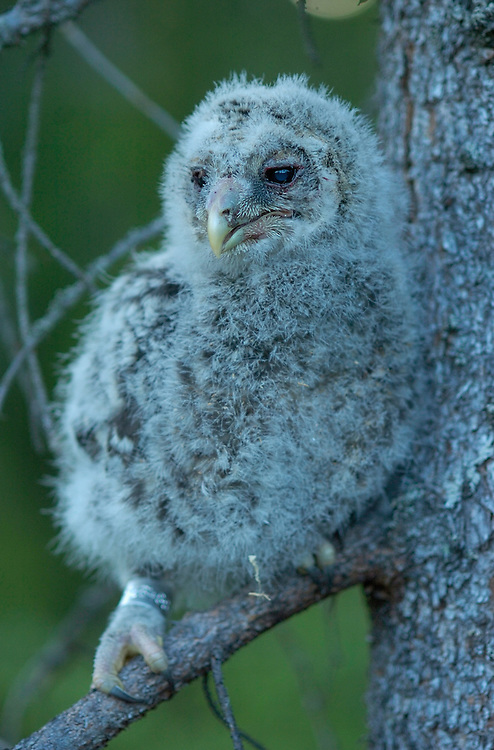 Ural owl chicks; Strix uralensis; caught for ringing; Vastmanland Sweden