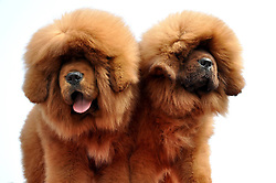 Two Tibetan mastiffs pose for photos at the 2nd Handan Tibetan mastiff exhibition Handan, north China's Hebei Province, The exhibition, with nearly 400 Tibetan mastiffs attended, kicked off on Saturday March 23, 2013. Photo by Imago / i-Images...UK ONLY.
