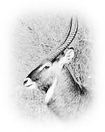 Waterbuck (Kobus ellpsiprymnus)