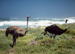 Ostriches beside the sea (Credit Image: © Axiom/ZUMApress.com)
