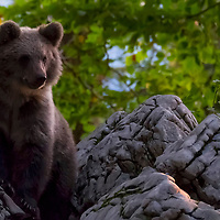 Wild Bears in Slovenia Wild bears in Slovenia photo tours and workshops
