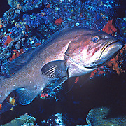 Yellowmouth Grouper inhabit reefs in Tropical West Atlantic; picture taken Grand Cayman.