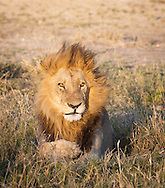 A male lion in the Linyanti concession, Botswana