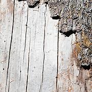 Close up of tree trunk. Waldo Lake, Oregon.