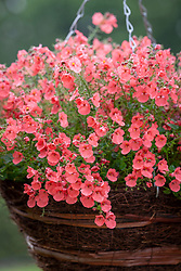 Diascia Little Drifter syn. 'Pendrif' in a hanging basket