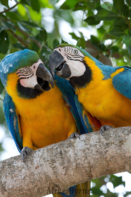 A pair of Blue and Gold Macaw (Ara ararauna) cuddle on a branch near Araras Eco Lodge (Pantanal, Mato Grosso, Brazil)