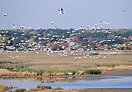 Snow Geese over the Brigantine Wilderness Area saltmarsh during fall migration.  The marsh is part of the Edwin B. Forsythe NWR. Oceanville, NJ