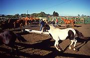 Horses, Parker Ranch, Kamuela, island of Hawaii<br />