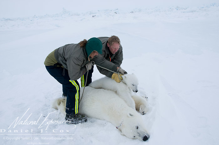 Dr Steven Amstrup and Susie Miller work at subduing polar bear cub. Mother was tranquilized for data collection. Beaufort Sea, Alaska