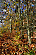 Autumn Beech, Fagus sylvatica, on woodland boundary, Stoke Wood, Oxfordshire.