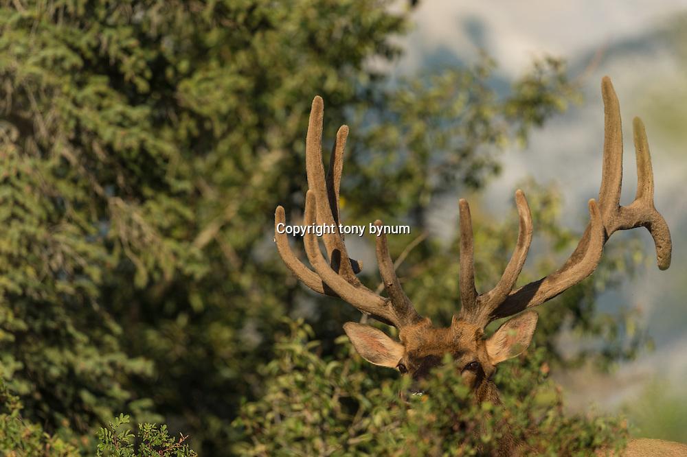 bull elk standing alone in large lake river