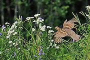Ruffed grouse (Bonasa umbellus) in flight<br /> Ear Falls<br /> Ontario<br /> Canada
