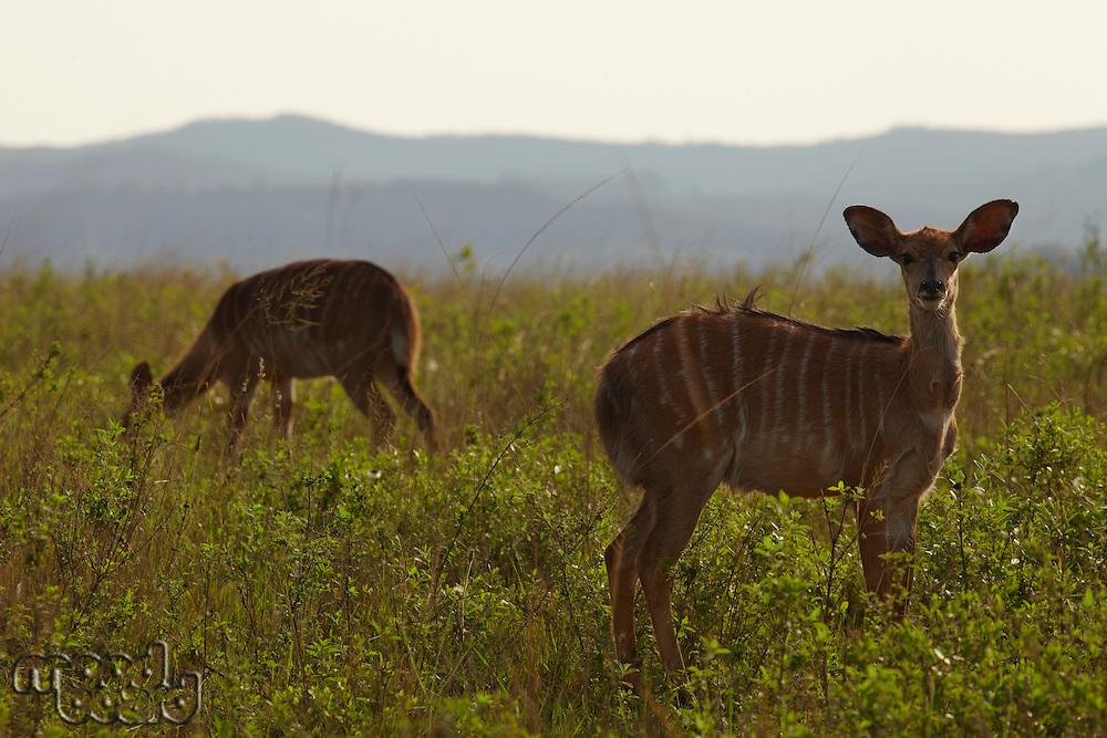 Female Nyala on African plains
