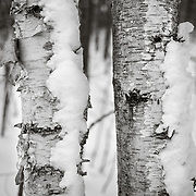 Birch Trees after snow storm on Appalachian Trail