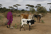 TANZANIA. Longido Mountain Area..August 3rd 2009..A Maasai man and his herd..