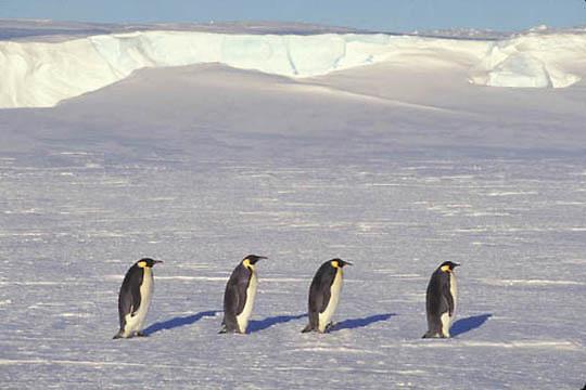 Emperor Penguin, (Aptenodytes forsteri) Adult on ice. Atka Bay. Antarctica.