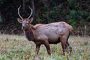 October 15, 2018 - Maggie Valley, NC, U.S: A bull elk (Cervus elaphus manitobensis) grazes in the Cataloochee Valley located in the Great Smoky Mountains North Carolina. Romeo T Guzman/CSM
