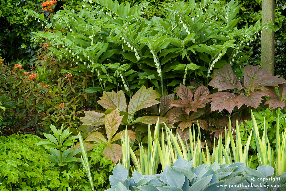 Contrasting foliage shapes and colours in a border at Eastgrove Cottage. Hosta 'Halcyon', Rodgersia podophylla, Iris pseudacorus 'Variegata', Euphorbia griffithii 'Dixter' and Polygonatum hybridum syn. P. multiflorum ( Solomon's seal )