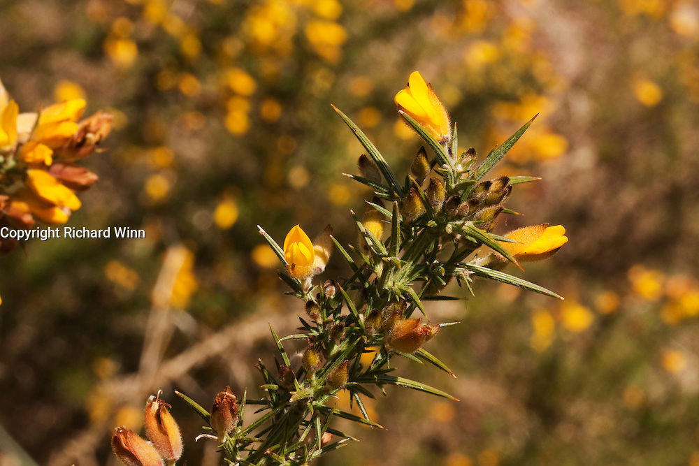 Still life image of European gorse florets lit by the sun